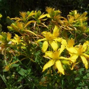 Hypericum perforatum subsp. angustifolium (DC.) A.Fröhl. [1911] (Millepertuis à feuilles étroites)
