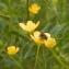 Elodie Masseguin - Ranunculus L. [1753]