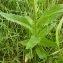 Emmanuel Stratmains - Hesperis matronalis subsp. matronalis