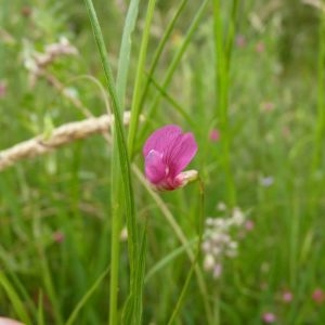 Photographie n°783045 du taxon Lathyrus nissolia var. nissolia