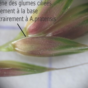 Alopecurus myosuroides Huds. (Vulpin des champs)