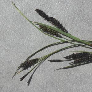 Photographie n°783410 du taxon Carex flacca Schreb. [1771]