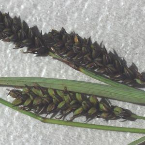 Photographie n°783412 du taxon Carex flacca Schreb. [1771]