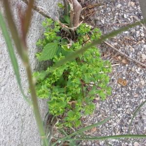 Photographie n°784333 du taxon Euphorbia peplus L. [1753]