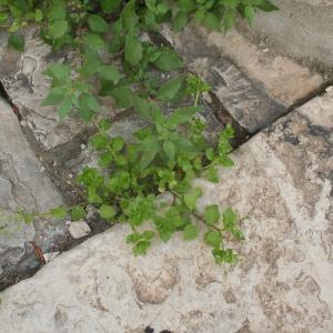 Photographie n°784397 du taxon Arenaria serpyllifolia L. [1753]