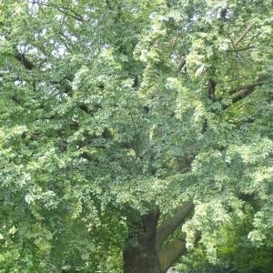 Photographie n°784645 du taxon Hêtre