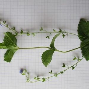 Photographie n°784772 du taxon Veronica chamaedrys L. [1753]