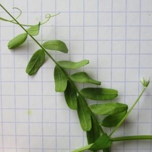 Photographie n°784774 du taxon Vicia hirsuta (L.) Gray [1821]