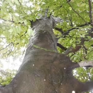 Photographie n°784891 du taxon Hêtre