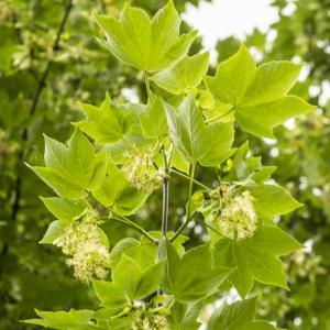 Photographie n°785343 du taxon Acer pseudoplatanus L.