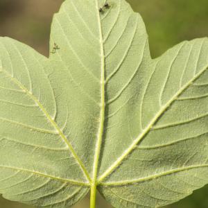 Photographie n°785344 du taxon Acer pseudoplatanus L.