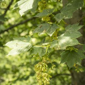 Photographie n°785345 du taxon Acer pseudoplatanus L.