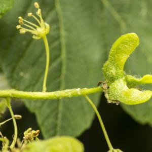 Photographie n°785346 du taxon Acer pseudoplatanus L.