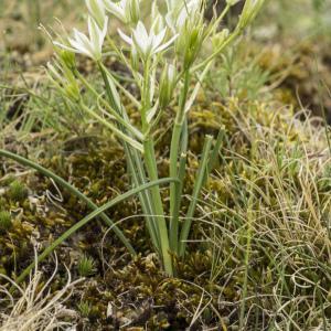 Ornithogalum umbellatum L. (Ornithogale à feuilles étroites)
