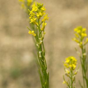 Barbarea vulgaris var. rivularis (Martrin-Donos) P.Fourn.