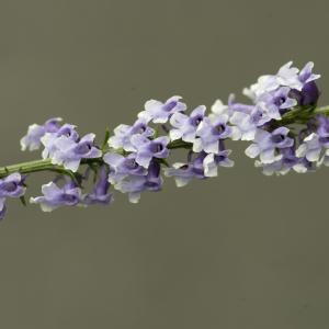 Photographie n°785485 du taxon Anarrhinum bellidifolium (L.) Willd.