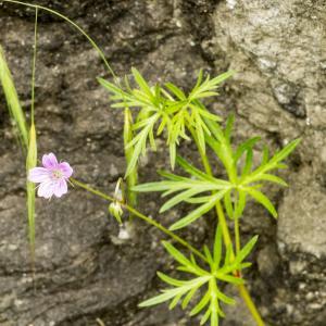 Photographie n°785505 du taxon Geranium columbinum L.