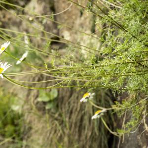 Photographie n°785510 du taxon Leucanthemum monspeliense (L.) H.J.Coste [1903]