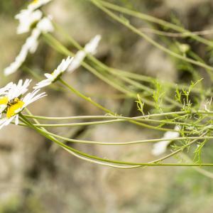 Photographie n°785512 du taxon Leucanthemum monspeliense (L.) H.J.Coste [1903]