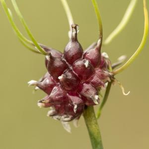 Photographie n°785576 du taxon Allium vineale L.