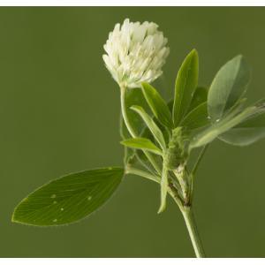 Trifolium alexandrinum L. (Trèfle d'Alexandrie)