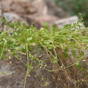 Photographie n°785697 du taxon Arenaria serpyllifolia L. [1753]