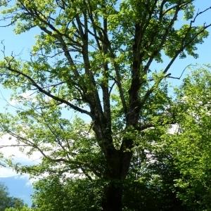 Photographie n°785994 du taxon Acer pseudoplatanus L.