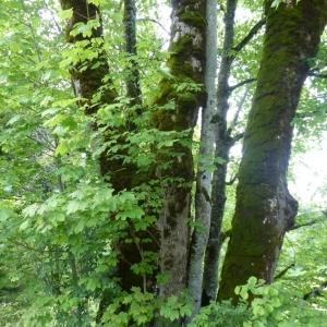 Photographie n°786016 du taxon Acer pseudoplatanus L.