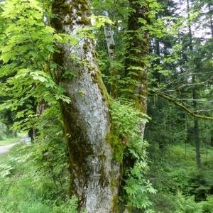 Photographie n°786025 du taxon Acer pseudoplatanus L.
