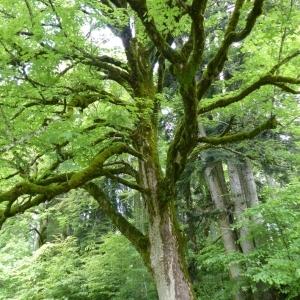 Photographie n°786026 du taxon Acer pseudoplatanus L.
