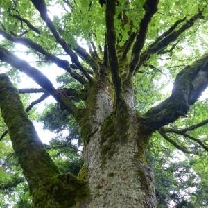 Photographie n°786027 du taxon Acer pseudoplatanus L.