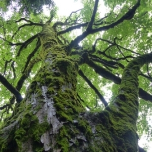 Photographie n°786028 du taxon Acer pseudoplatanus L.