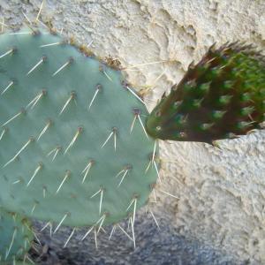 - Opuntia ficus-indica (L.) Mill.