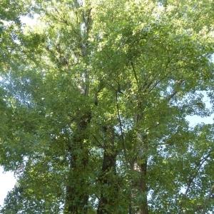 Photographie n°787306 du taxon Populus nigra var. italica Münchh. [1770]