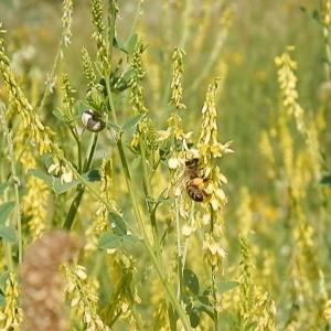 Photographie n°787330 du taxon Trigonella officinalis (L.) Coulot & Rabaute [2013]