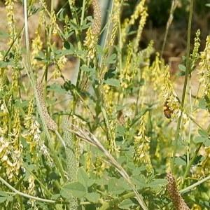 Photographie n°787331 du taxon Trigonella officinalis (L.) Coulot & Rabaute [2013]