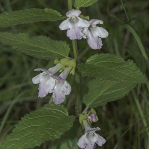 Photographie n°787368 du taxon Melittis melissophyllum L. [1753]