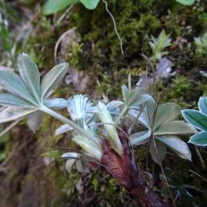 Photographie n°787450 du taxon Alchemilla alpina L.