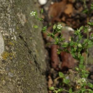 Photographie n°787773 du taxon Arenaria serpyllifolia L. [1753]