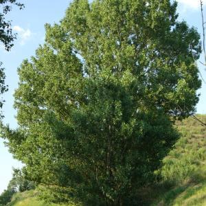 Photographie n°787792 du taxon Populus nigra L.