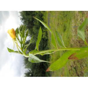 Oenothera subterminalis R.R.Gates (Onagre de Silésie)