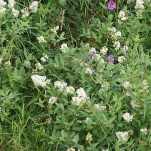 Photographie n°788359 du taxon Ligustrum vulgare L. [1753]