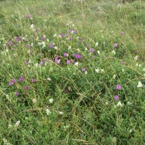 Photographie n°788360 du taxon Ligustrum vulgare L. [1753]
