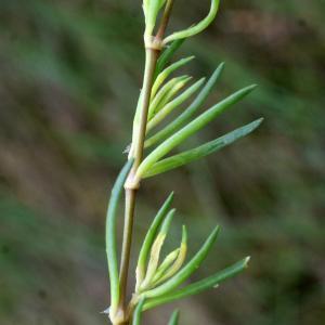 Photographie n°788617 du taxon Spergularia marina (L.) Griseb. [1843]