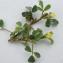 Liliane Roubaudi - Trifolium micranthum Viv. [1824]