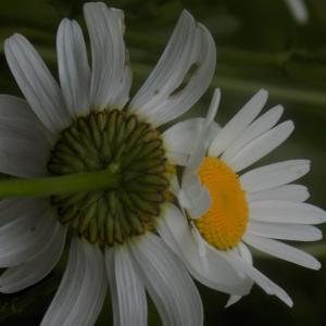 Photographie n°789009 du taxon Leucanthemum vulgare Lam. [1779]