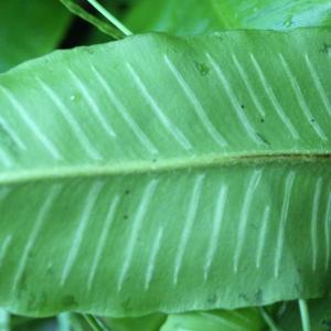 Photographie n°789133 du taxon Asplenium scolopendrium L. [1753]