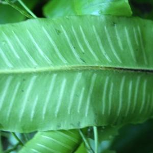 Photographie n°789134 du taxon Asplenium scolopendrium L. [1753]