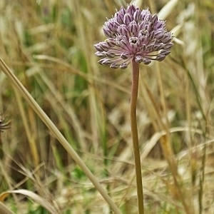 Photographie n°789316 du taxon Allium acutiflorum Loisel. [1809]