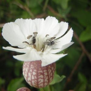 Photographie n°789520 du taxon Silene vulgaris subsp. maritima (With.) Á.Löve & D.Löve [1961]